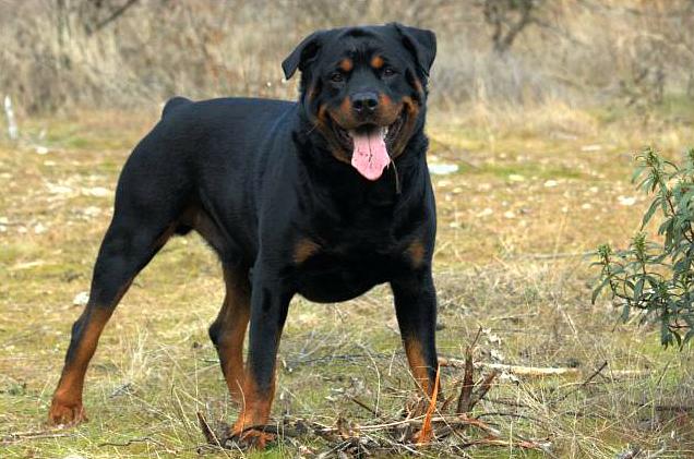 Rottweiler212
